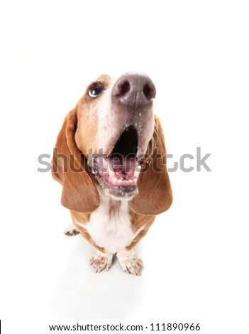 a funny basset hound isolated on white a background with her mouth open, howling - stock photo