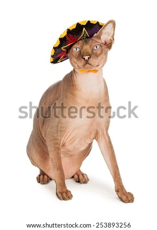 A funny hairless Sphinx breed cat with a mad expression wearing a Mexican sombrero - stock photo