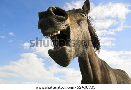 A funny humorous photo of a brown horse yawning and showing his dirty teeth.