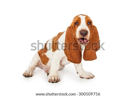 A funny looking Basset Hound Dog with mouth open as if he is talking