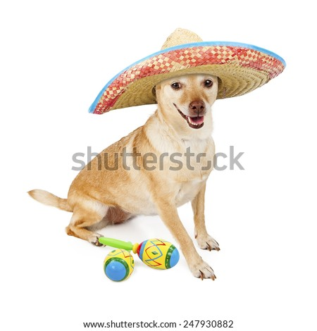 A funny photo of a Chihuahua dog wearing a Mexican Sombrero with maracas  - stock photo