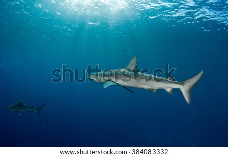 A Galapagos shark swimming alone in a very blue ocean.