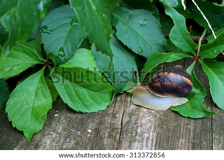 a garden snail after rain on a wooden bench to ivy leaves background - stock photo