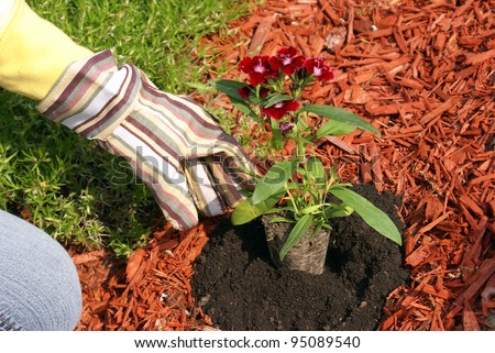 A gardener plants some flowers in the dirt. - stock photo