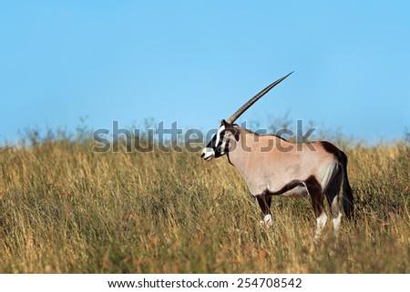 A gemsbok antelope (Oryx gazella) in natural habitat, Kalahari desert, South Africa - stock photo
