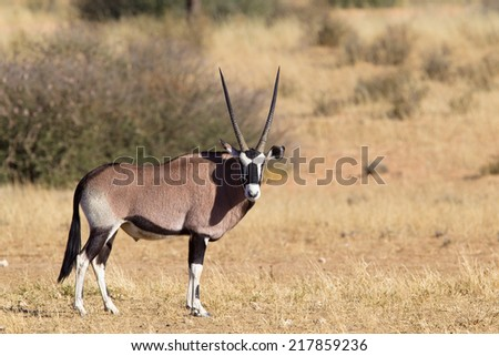 A Gemsbok (Oryx gazella) standing in the Kalahari desert, in a blurred natural setting, South Africa - stock photo