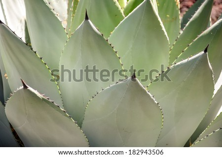 A generic look at an agave cactus in its wild environment. - stock photo