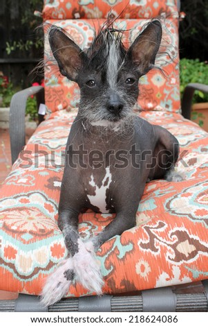 "A genuine Hairless Chinese Crested dog. Smiles as he poses for his Portrait outside. Chinese Crested dogs can birth both Hairless and Silky ""covered in fur"" in the same litter.  - stock photo"
