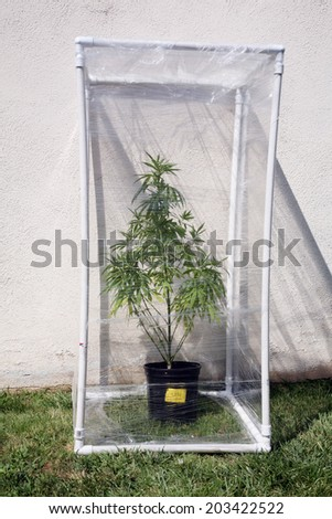 A Genuine Medical Marijuana plant being grown in its own personal green house outside. Green Houses help increase humidity and temperature and can have exotic gases such as CO2 added - stock photo