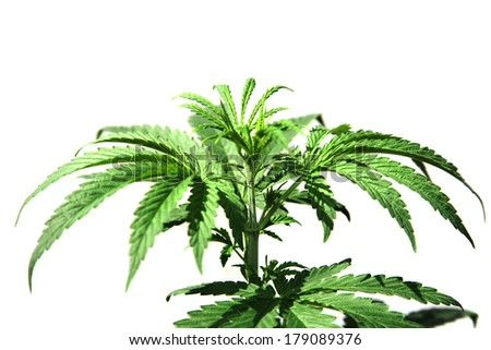 A Genuine Medical Marijuana Plant. Marijuana AKA Pot, Dope, Mary Jane, Splif, Joint,Ganja, Weed, 420, Herb, Medicine, Hash, Hemp is used as medicine. Isolated on white with room for your text.  - stock photo
