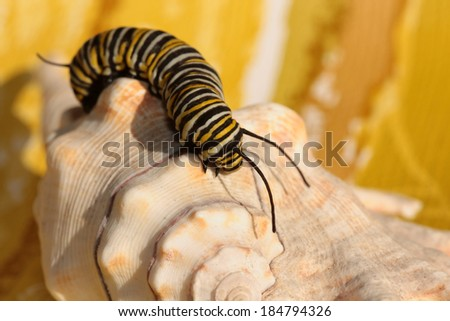 "A Genuine Monarch Butterfly Caterpillar ""Danaus plexippus"" sits on a sea shell in the sun. Butterflies were once though to be attracted to butter and drink the cream from the top, earning their name."