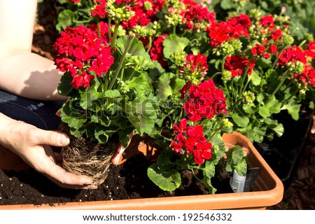 A geranium is planted in a flower box - stock photo