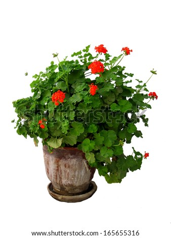 A geranium plant isolated on a white background - stock photo