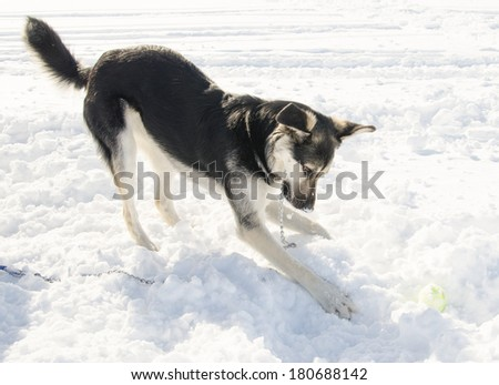 A German Shepherd dog playing with a tennis ball in the snow - stock photo