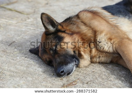 a German shepherd dog sleeping in the garden of an house in Sicily