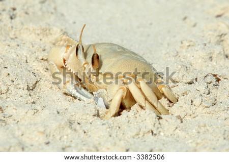 A Ghost Crab, O. saratan, on a beach in north-east Qatar, on the Arabian/Persian Gulf coast. - stock photo