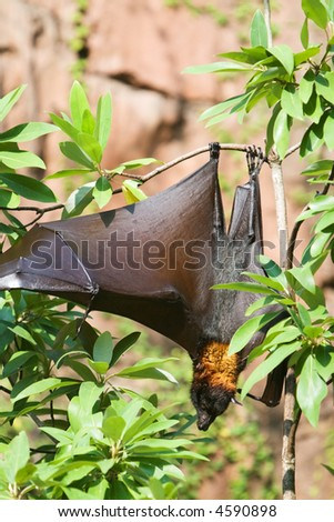 A giant bat hangs upside down from a tree.  Copy space at top.