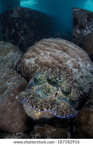 A giant clam (Tridacna derasa) grows in shallow water near a resort dock in the Republic of Palau. This bivalve species is a food source to many Pacific islanders but grows extremely slowly. - stock photo