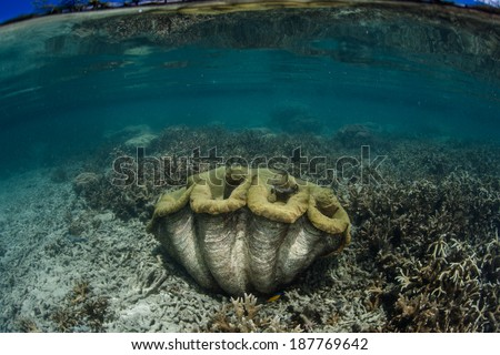 A giant clam (Tridacna gigas) grows in shallow water near a coral reef in the Republic of Palau. This endangered species is a food source to many Pacific islanders but grows extremely slowly. - stock photo