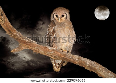 A giant eagle-owl (Bubo lacteus) perched on a branch during the night with a full moon - stock photo