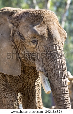A giant elephant standing on a dirt path while sunning himself - stock photo