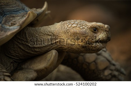 A giant Galapagos turtle, Galapagos islands, Ecuador, South America