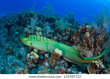 A Giant green moray eel slithers across a Caribbean coral reef where it may hunt reef fish.  This moray eel species grows up to 4 meters long. - stock photo
