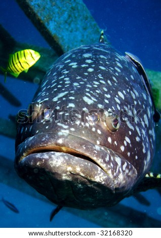 A giant Grouper and a bright yellow fish - stock photo