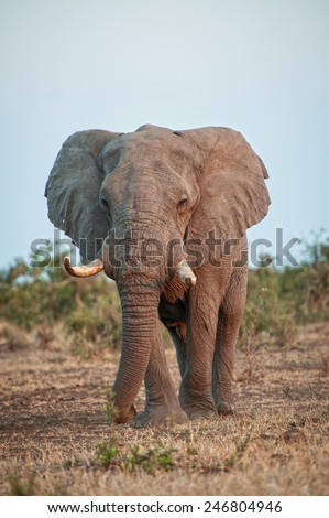 A giant of a Bull Elephant approaches slowly  - stock photo