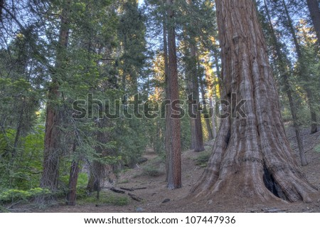 A giant Sequoia in Sequoia National Forest. - stock photo