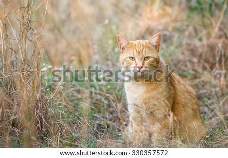 A ginger tabby cat sitting amongst long veld grass - stock photo