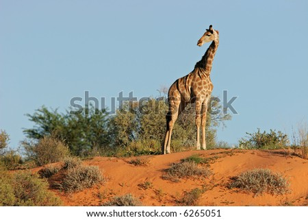 A giraffe (Giraffa camelopardalis) on a sand dune in the semi-desert Kalahari, South Africa