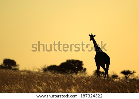 A giraffe (Giraffa camelopardalis) silhouetted against a sunset, South Africa