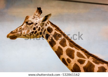 A Giraffe Head and Neck  in Profile Against a Tan Background