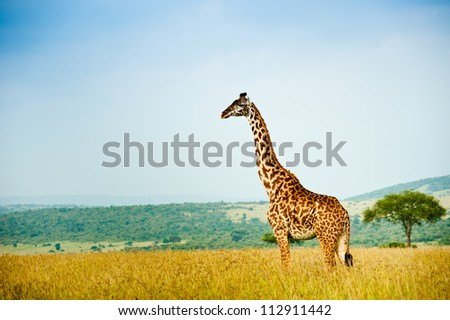 A giraffe, Kenya - stock photo