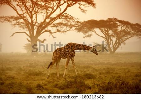 A giraffe, Kenya  - stock photo