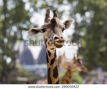 A giraffe portrait. - stock photo