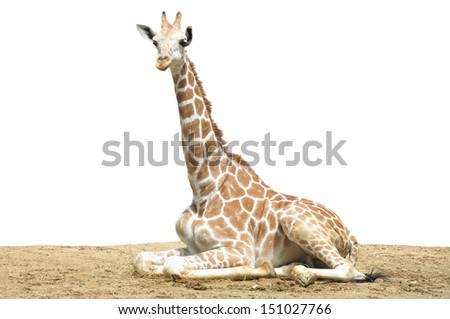 A giraffe's habitat is usually found in African savannas, grasslands or open woodlands - stock photo