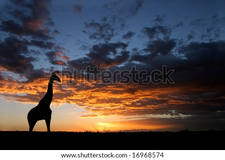 A giraffe silhouetted against a dramatic sunset with clouds, Kalahari desert, South Africa - stock photo