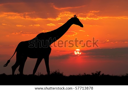 A giraffe silhouetted against a dramatic sunset with clouds, South Africa - stock photo