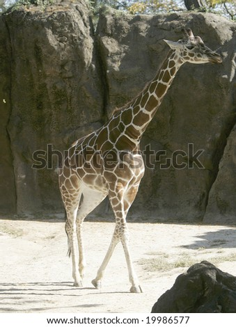A giraffe walking along - stock photo