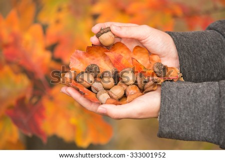 A girl holding a bunch of acorns in the hands. Do not see the girl's face, hands only. Copy space. Aerial picture, bright, color photograph. Hands of the girl on a background of red oak leaves. - stock photo