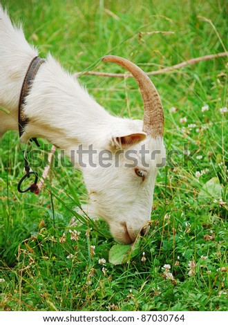 A goat in green grass - stock photo