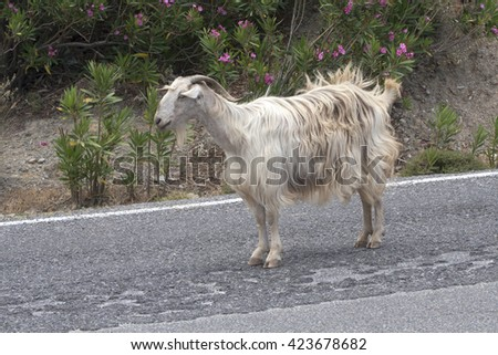 A goat on the road. - stock photo