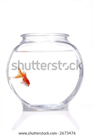 A gold and white fantail goldfish swimming in a bowl. White background.