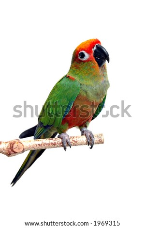 A Gold Capped Conure against a white background