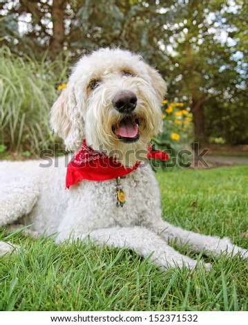 a golden doodle sitting in a park with green grass and bushes - stock photo