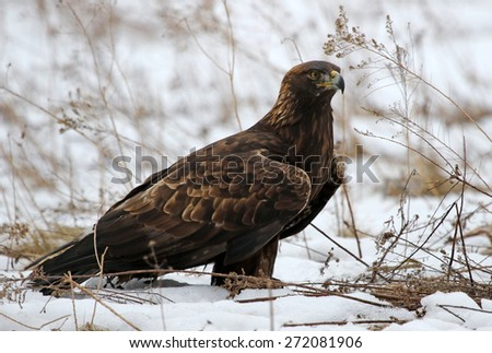 A Golden Eagle (Aquila chrysaetos) sitting in a field with snow on the ground.  - stock photo