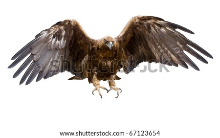 a golden eagle with spread wings, isolated - stock photo