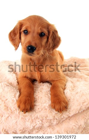 A golden Irish/ red Retriever puppy. A hybrid between a golden retriever and an Irish setter. - stock photo